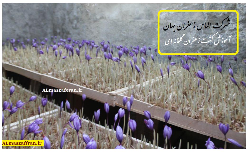 آموزش تولید زعفران و کشت زعفران گلخانه ای.