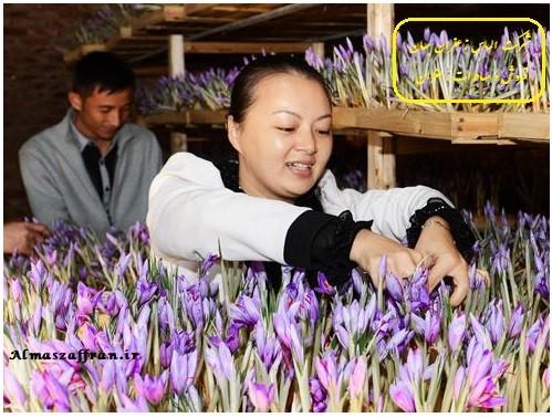 طرح پرورش زعفران گلخانه ای (سیستم هواکشت)