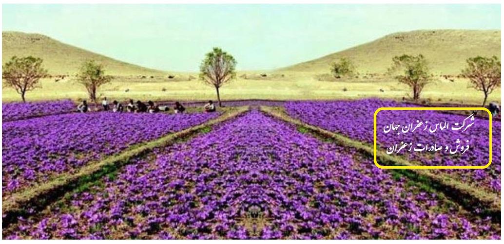 كشت گلخانه ای زعفران، روش جدید